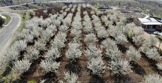 Elazığ'da bahar, tarihi mahalle kiraz çiçekleriyle beyaza büründü