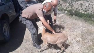 Yolunu kaybeden dağ keçisi, doğal yaşam alanına bırakıldı