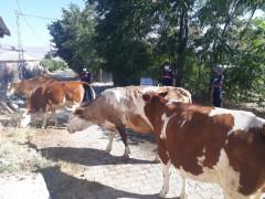 Elazığ'da kayıp  hayvanları jandarma drone ile buldu