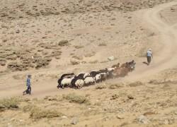 Elazığ'da yaylacılar dönüş hazırlığına başladı