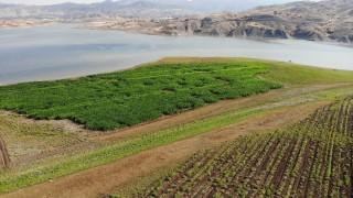 Murat Nehri'nde sular çekildi, tarım başladı