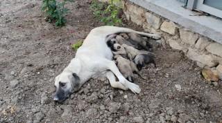 Ölüme terk edilen 10 yavru köpek, 3 gün sonra annelerine kavuştu