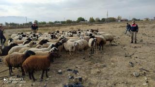 Kayıp koyun sürüsü 10 kilometre uzakta bulundu