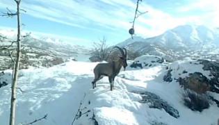 Dağ keçilerinin görüldüğü yerlere jandarmadan yem desteği