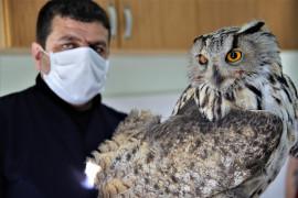 Vurulan kulaklı orman baykuşu bulundu, tedavi altına alındı