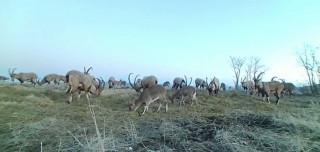Popülasyonu artan dağ keçileri foto kapanla görüntülendi