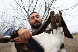 Süt için aldığı keçiler, çift çift kuzulayınca sürü sahibi oldu