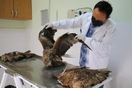 Elazığ'da 4 yaralı şahin tedavi altına alındı, hayvan hastanesi başhekimi uyardı
