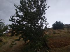 Elazığ'da fırtına ağaçları yerinden söktü