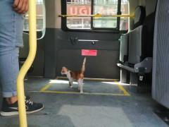 Elazığ'da yolcu gibi minibüse binen kedi, çarşı merkezine kadar yolculuk yaptı