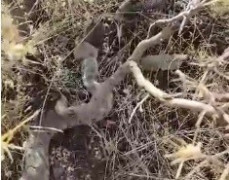 Elazığ'da yılanın fareyi yutma anı kameralarda